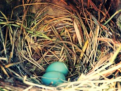 (Venusian Lady) Tags: life blue baby bird robin birds catchycolors babies nest eggs bluebird newlife blueeggs