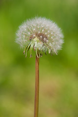 Just before it blows away (Akos Batorfi) Tags: flower nikon bokeh sigma dandelion seeds paardenbloem 2470 d90