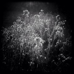 Weeds at Sunset (shollingsworth) Tags: california light sunset blackandwhite bw sunlight nature square weeds backlit pleasanton hollingsworth pleasantonridgeregionalpark iphone5 iphoneography hipstamatic uploaded:by=flickrmobile flickriosapp:filter=nofilter