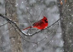 Winter Cardinal....... (l_dewitt) Tags: winter snow backyard cardinal cardinaliscardinalis northerncardinal backyardbirds winterbird cardinalimage