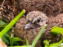 Empty Nest (TnOlyShooter) Tags: bird nest dove