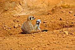 Meerkat Family (www.hot-gomez-fotografie.de) Tags: baby nature animal mammal zoo meerkat nikon mother chester d2h