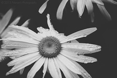 I am not perfect, but I am beautiful. (Navansphotography.com) Tags: flowers flower art love monochrome canon blackwhite blossoms faded minimalistic lightroom minima 500d canon500d adobephotoshoplightroom lr5 eoskissx3 silverefexpro rebelt1i kissx3 canonrebelt1i