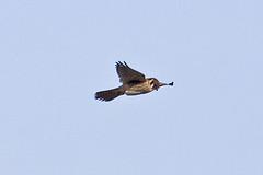 032034-IMG_6489 American Kestrel (Falco sparverius) (ajmatthehiddenhouse) Tags: usa bird colorado americankestrel falco falcosparverius sparverius 2013