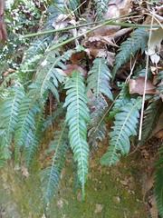 Doodia australis 1 (barryaceae) Tags: new plants wales rainforest south australian australia falls species ferns ellenborough australianrainforestplants australianferns ausrfps ausferns