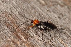 Ichneumon wasp (kasia-aus) Tags: orange white black macro nature insect wasp little australia september ichneumon canberra 2013