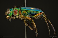 Cicindela purpurea hatchi - Male (Specimens from the Zoology Collections at the DMNS) Tags: blue insectos green nature museum bug insect focus colorado shiny pin metallic beetle insects science denver bugs stack montage copper beetles predator museums biology tigerbeetle specimen ze zoology entomology combined specimens dmns pinned coleoptera cicindela compiled focusstack carabidae helicon escarabajos denvermuseumofnaturescience cicindelidae zerene predacious groundbeetle cicindelinae zstack