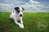 IMG_3507 Smidge (Bettina Woolbright) Tags: sky blackandwhite dog grass jrt hunting sigma canine jackrussell 20mm huntingdog sigma20mm bettinawoolbright 5d3