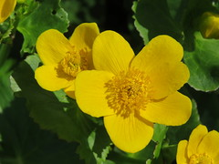 Isabella Plantation (lindad4a) Tags: surrey april richmondpark isabellaplantation 2015 kingcup