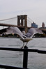 New York (augusto.rovere) Tags: city newyork nature brooklyn fly outdoor manhattan dove wildlife moment brookylnbridge