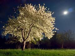 The Moon, The Stars & A Spotlight (parkerbernd) Tags: light moon tree apple fruit night germany season stars lumix spring long exposure shot blossom spotlight illuminated full panasonic le flowering springtime blooming gx1