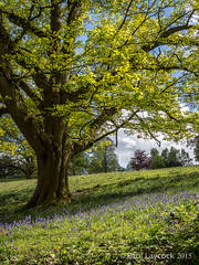 Tree of Bluebells (amipal) Tags: wood uk greatbritain flowers trees england tree nature bluebells garden sussex unitedkingdom gb nationaltrust nymans