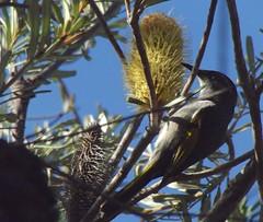Crescent Honeyeater (Friends of Aldinga Scrub) Tags: male australianbird silverbanksia banksiamarginata crescenthoneyeater aldingascrubconservationpark phylidonyrispyrrhopterushalmaturina southaustraliancrescenthoneyeater friendsofaldingascrub