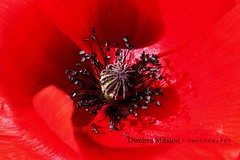 POPPY ... (dimitra_milaiou) Tags: life light red wild sun black flower macro love nature beauty up closeup wow island greek happy photography spring nikon day shadows close live sunny greece poppy andros dimitra 2015 d90     milaiou