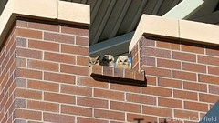May 11, 2015 - Owlets peer out from the top of the Broomfield rec center. (David Canfield)