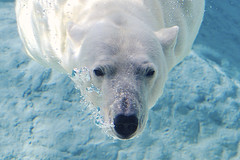 H.A.M. (ucumari photography) Tags: bear water animal mammal zoo oso nc north bubbles polarbear carolina april ours ursusmaritimus oursblanc 2015 osopolar ourspolaire specanimal ucumariphotography dsc1501