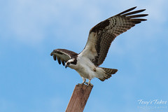 Male Osprey landing sequence - 10 of 13