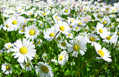 Daisies (thechilliking) Tags: flowers summer grass lumix petals spring sweden lawn panasonic daisy 2014 lx7 vatternrundan