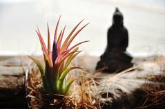 Tillandsia ionantha & Buddha (kodama nobutaka) Tags: plant landscape interior tillandsia ionantha