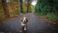 Almondell (mejud) Tags: dog bassethound westlothian autumn fall hound basset rescuedog trees calderwood scotland outdoor