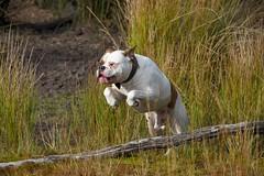 Hurdles (alokD7200) Tags: dogs happydog lovemydog maledog lovemydogs dog doggy dogface playingdogs rush runforestrun rushing run rude huisdier hund hondenfotografie spelendehonden honden holland hond pet pets perro chien shetanbullsbrick bully amerikaansebulldog americanbulldog ambull amateur american bulldog nederland forest wood grass puppy pup fun spelen gras groen natuur bos veluwe nikkor nikon nikond7200 d7200 7200 18200 akabrick brick brindle athletic athlete speed rennen