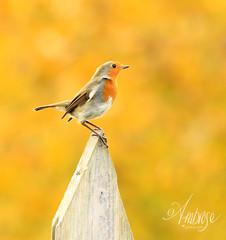 Mellow yellow (~ **Barbara ** ~) Tags: robin garden wild wildbird red redbreast autumn shed goldentree sunny wildlife avian perch watching canon7dii