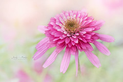Summer Pastels (Jacky Parker Floral Art) Tags: cosmos flower pink southernbelle closeup macro selectivefocus focusonforeground horizontalformat beautyinnature floralart freshness fragility delicate summer2016 flowerphotography naturephotography macrophotography nikon uk outdoors nopeople