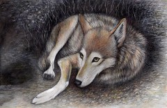 Don't Cry Wolf ( explored) (Artist Victoria Watson) Tags: art redwolf drawing wolf wildlife wildlifeart animal animalart redwolfdrawing fineart outdoor mammal handrenderedart endangeredspecies wolfdrawing wolfart prismadrawing colorpencil canine