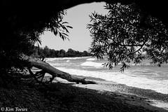 Walk The Shore - Prince Edward County, Ontario (Kim Toews Photography) Tags: outdoor shoreline beach landscape monochrome trees plant lakeontario greatlakes bw blackandwhite waves water driftwood princeedwardcounty ontario