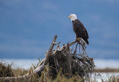Blue (Rick Derevan) Tags: alaska kodiak eagle baldeagle haliaeetusleucocephalus raptor kodiak2016 kodiaktrip2016 places unitedstates us