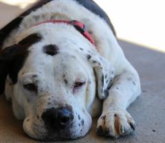 aveda-5680 (angelsrescue) Tags: aau pets angels among us pet rescue alpharetta ga dog love