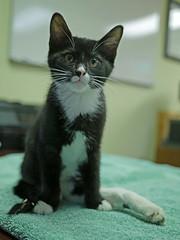 Karma & Phoenix_06 (AbbyB.) Tags: mtpleasantanimalshelter easthanovernj newjersey kitten cat feline abandoned leg injury adopt rescue pet shelterpet petphotography