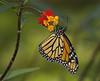 Monarch, female (Danaus plexippus) (AllHarts) Tags: femalemonarchdanausplexippus bernheimforest bullittcountyky shepherdsvilleky naturesspirit thesunshinegroup butterflygallery alittlebeauty challengeclubchampions naturescarousel ngc npc