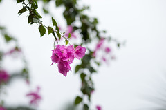 Bougainvillea flower (MrNamChip) Tags: flower vietnam natural nature sky color white pink yellow beauty