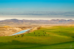 Pasture (stuanderson7) Tags: grass anima california aqueduct landscape grazing nature cattle mountains pasture outdoor hills clouds morning s waterway water manmade sky green sunrise serene dawn californiaaqueduct