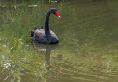 Cygne noir (JeanJoachim) Tags: cygnenoir cygnusatratus blackswan anseriformes anatidae oiseau bird vogel aves uccello fgel fugl pssaro  lintu  ptak pentaxk5iis smcpentaxda300mmf4edifsdm rservenaturelledumaraisdorx