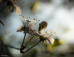Apple Blossom (judy dean) Tags: spring apple blossom flowers garden pale petals sepals stamens tree