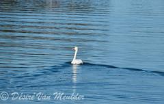 Tot ziens - Goodbye (desire van meulder) Tags: birds swans swan vogels zwaan zwanen muteswan knobbelzwaan