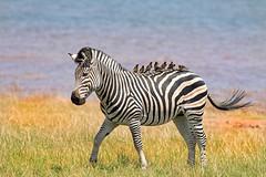 Zebra & Oxpeckers (paulafrenchp) Tags: