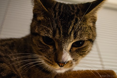 DSC_0004 (Adrian De Lisle) Tags: atreides cat tabby burnaby britishcolumbia canada ca