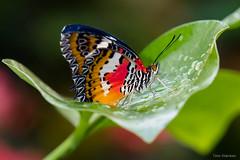 Butterfly on leaf (Timo Warnken) Tags: butterfly schmetterling leaf blatt nass regen rain wet botanika grn grne science center bremen rhododendronpark rhododendron park rot red white orange bokeh