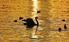 Or du temps (Diegojack) Tags: morges soleilcouchant lumire contrejour oiseaux canards cygnes ombres silhouettes or cuivre