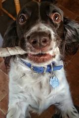 Billy (SteveH1972) Tags: springerspaniels englishspringerspaniel spaniel scunthorpe dog dogs pet pooch billy cute animal brown white cuteness rescuedog eyes