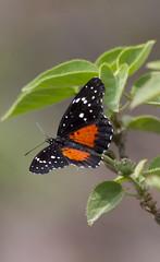 Chlosyne janais janais (K. Zyskowski and Y. Bereshpolova) Tags: mexico butterfly nymphalidae nymphalinae chlosyne janais