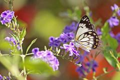 Caper White Butterfly 002 (DMT@YLOR) Tags: caper bougainvillea geishagirl flower goodna queensland australia ipswich colour garden spring caperwhitebutterfly white yellow brown