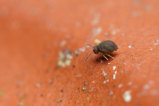 Small springtail on clay pot - Sminthurinus domesticus #2