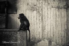Zoo Aquarium de Madrid (bethaql) Tags: edificiosderecreo monkey primates europa mamfero discoverspain photowalk mono monkeys ape paseoenelzoo jaula animal simios savage simio edificio spain flora zoo madrid zooaquarium salvaje zoodemadrid animals fauna europe espaa animalesdezoologico entorno comunidaddemadrid es
