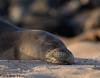 Hawaiian Monk Seal (Doreen Bequary) Tags: nikkisafs200500mm seal d500 hawai hawaiian beach ocean sea molokai monkseal endangered mammals rare earless sand sleeping