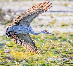 Flying Low (Wes Iversen) Tags: bokehwednesday brighton hbw kensingtonmetropark michigan milford sandhillcrane sandhillcranes tamron150600mm bird birds birdsinflight nature painterly waterbirds