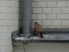 Turmfalke (Falco tinnunculus) (Manuela Vierke) Tags: deutschland germany berlin 2016 november tier tiere animal animals vgel bird birds falke turmfalke falcotinnunculus